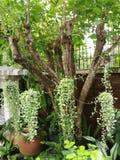 Завод nummullaria Dischidia Стоковое Изображение