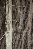 Завод Parasited на большом дереве Стоковые Изображения RF