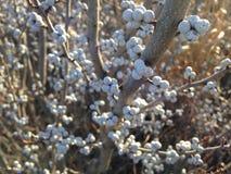 Завод Pensylvanica Myrica (Bayberry) с семенами стоковые фотографии rf