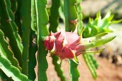Завод Pitahaya плодоовощ дракона Стоковое Фото