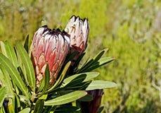 Завод Protea с цветками Стоковое Изображение