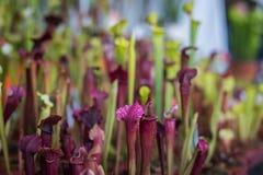 Завод purpurea Sarracenia в питомнике Стоковые Фотографии RF