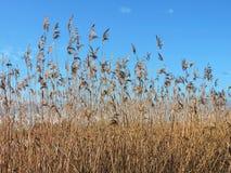 Завод Reed в предпосылке неба Стоковое Изображение