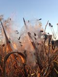 Завод Seedpod Asclepius Curassavica с семенами во время захода солнца осенью Стоковое Фото