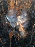 Завод Seedpod Asclepius Curassavica с семенами во время захода солнца осенью Стоковые Фотографии RF