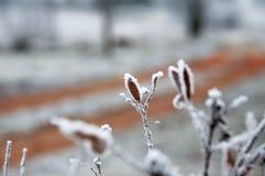 Завод Snowy Стоковые Фотографии RF