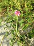 Завод Strophostyles Helvola при зеленое Seedpods Blossoming в песчанных дюнах Стоковые Изображения RF