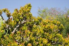 Завод Succulent нефрита Стоковые Фотографии RF