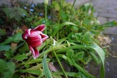 завод tulp в саде улицы Стоковые Фотографии RF