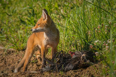 Завтрак красной лисы Стоковая Фотография RF