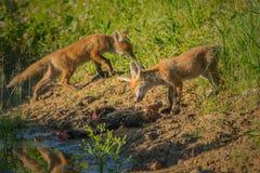 Завтрак красной лисы Стоковые Изображения RF