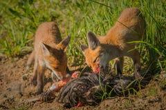 Завтрак красной лисы Стоковое фото RF