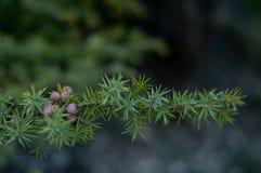 Завтрак-обед можжевельника Вечнозеленое дерево стоковые фотографии rf