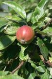 завтрак-обед яблока Стоковое фото RF
