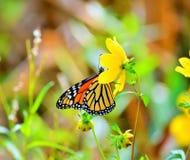 Завтрак-обед бабочки Стоковое фото RF