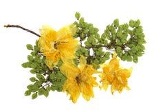 Завтрак-обед вяза отжал зеленые семена, сухое чувствительное большое желтое narcissu Стоковое Изображение RF