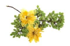 Завтрак-обед вяза отжал зеленые семена, сухое чувствительное большое желтое narcissu Стоковое Фото