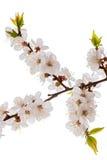 Завтрак-обед цветения абрикоса изолированный на белизне Стоковые Изображения RF