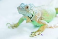 Завуалированный хамелеон изолированный на белой предпосылке Стоковое Изображение RF