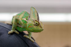Завуалированный хамелеон на задней части персоны Стоковые Фотографии RF