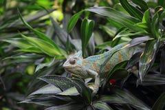 Завуалированный хамелеон Стоковые Фото