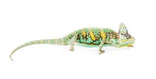 завуалированный хамелеон Стоковые Изображения RF