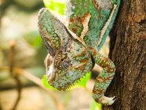 завуалированный хамелеон Стоковые Изображения