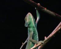 завуалированный хамелеон Стоковая Фотография RF