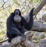 Завывать Siamang в дереве Стоковое фото RF