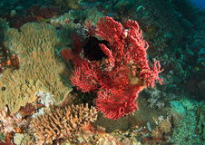 Завязанный коралл вентилятора Стоковое фото RF