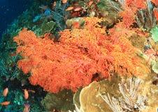 Завязанный коралл вентилятора Стоковые Изображения RF