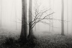 Загадочное дерево в туманном лесе Стоковые Фото