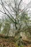 Загадочное смотря дерево Стоковые Изображения RF