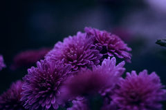 Загадочная хризантема Стоковые Фотографии RF