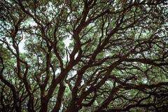 Загадочные ветви дуба в Monte Arci Стоковая Фотография RF