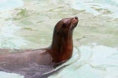 Загерметизируйте настоящего тюленя животной воды океана голубого изумительного морского стоковая фотография rf