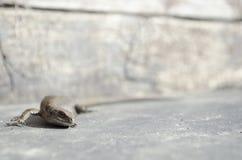 Загибы ящерицы естественные Стоковое Фото