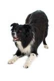 Загиб собаки Коллиы границы вниз Стоковое фото RF