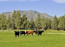 загиб cows около Орегона Стоковые Фотографии RF