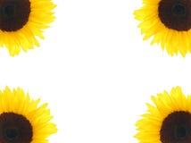 загоняет солнцецвет в угол Стоковые Фото