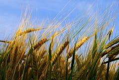 загоранная пшеница солнечного света завода Стоковые Фотографии RF