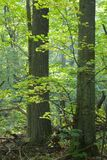 загоранный вал липы листьев Стоковые Изображения