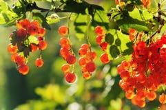 Загорано ягодами красной смородины солнечного света стоковое фото rf