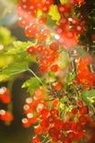 Загорано ягодами redcurrant солнечного света стоковая фотография