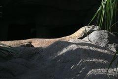 Загорать дракона Komodo стоковое фото