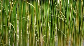 Загородка зеленого растения Стоковая Фотография RF