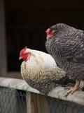 загородка 2 цыпленка Стоковые Фото