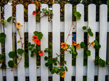 загородка голубого catmint цветастая шикарная цветет желтый цвет роз s зеленого пинка каминной доски повелительницы пурпуровый му Стоковые Фотографии RF