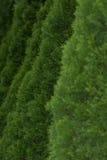 Загородка ели Стоковые Изображения RF