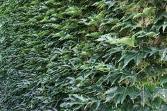 Загородка зеленых заводов космоса, каменных и взбираться Стоковые Фотографии RF